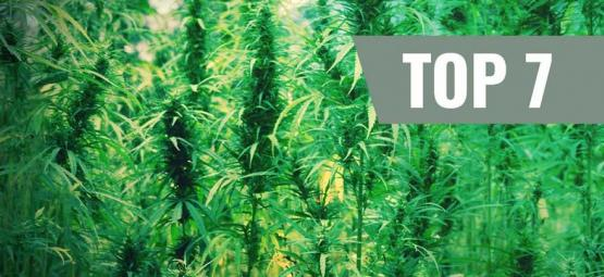 Top 7 Des Variétés De Cannabis Et Leurs Créateurs
