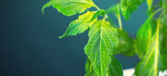 Comment Traiter Votre Plant De Salvia Divinorum