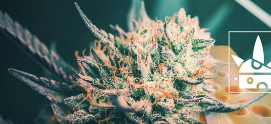Le Top 3 Des Variétés De Cannabis Cheese Et Leur Histoire