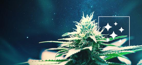 L'Origine De La Northern Lights Et Le Top 3 De Ses Variétés De Cannabis