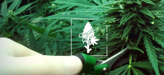 Top 4 Des Techniques De Taille Pour Vos Plants De Cannabis
