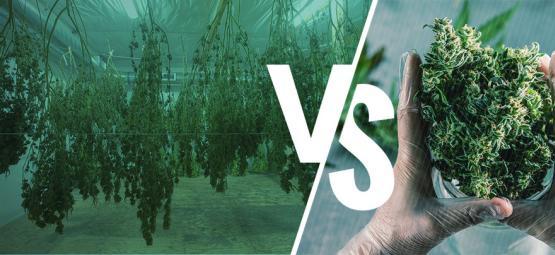 Taille Sèche Ou Humide De Vos Plants De Cannabis
