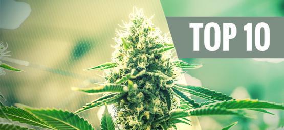 Top 10 Des Variétés De Cannabis Kush