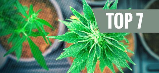 Top 7 Des Variétés De Cannabis Avec Un Ratio THC:CBD Unique