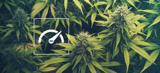Comment Augmenter Les Niveaux De CBD Dans Votre Culture De Cannabis