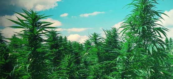 Top 10 Des Conseils Pour Cultiver Des Arbres De Weed
