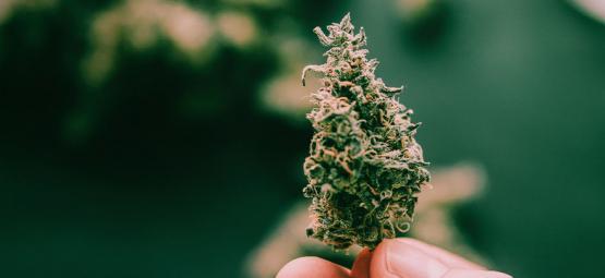 5 Variétés Super Collantes De Cannabis