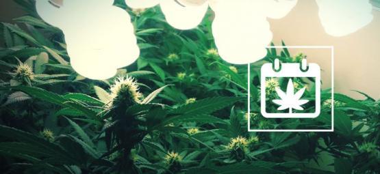 Comment Récolter 6 Cultures De Cannabis Par An