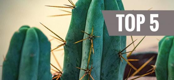 Top 5 Des Cactus À Mescaline