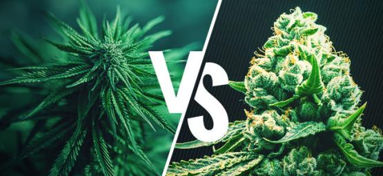 Cannabis Indica VS Cannabis Sativa - Démystification !