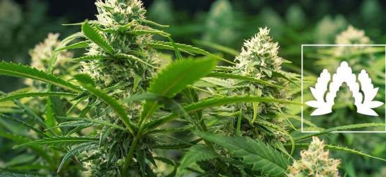 Les 5 Meilleures Variétés De Cannabis En Culture Sea Of Green (SOG)