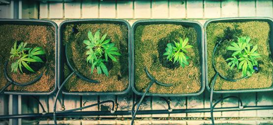Quand Et Comment Rempoter Un Plant De Cannabis Pour Augmenter Ses Rendements