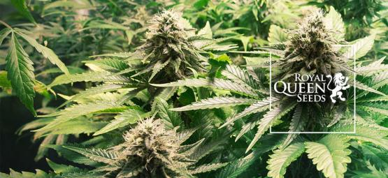 Top 10 Des Variétés De Cannabis De Royal Queen Seeds