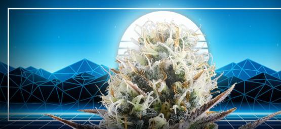 L'Apogée De L'évolution Du Cannabis : La Blue 2.0