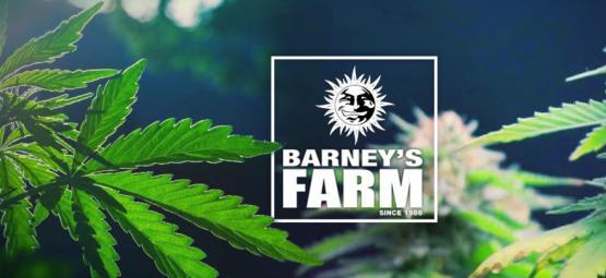 Les Meilleures Variétés De Cannabis De Barney's Farm