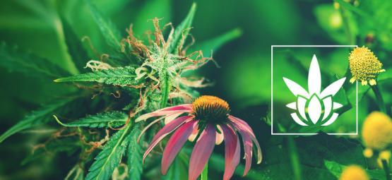 Les Cannabinoïdes n'Existent Pas Juste Dans Le Cannabis