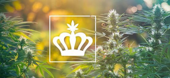 Que Sont Les Variétés Héritages De Cannabis ?
