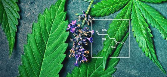Qu'est-ce Que Le Linalol Et Comment Interagit-il Avec Le Cannabis ?