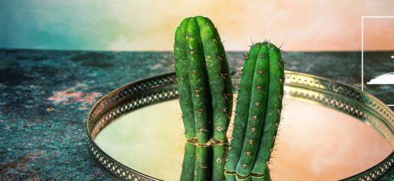 6 Légendes Sur Le Cactus De San Pedro Démystifiées
