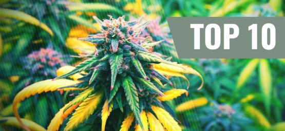 Top 10 Des Variétés De Cannabis Pour Cet Automne