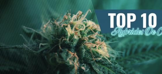 Top 10 Des Variétés Hybrides De Cannabis À Amsterdam
