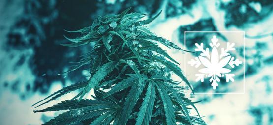Comment Cultiver Du Cannabis En Hiver (Si Si, C'Est Possible !)