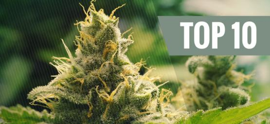Top 10 Des Variétés Classiques De Cannabis