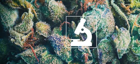 Les Bienfaits De L'Emploi D'Un Microscope Pour Les Cultivateurs Et Consommateurs De Cannabis
