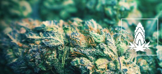 6 Conseils Pour Améliorer La Densité Des Têtes De Cannabis