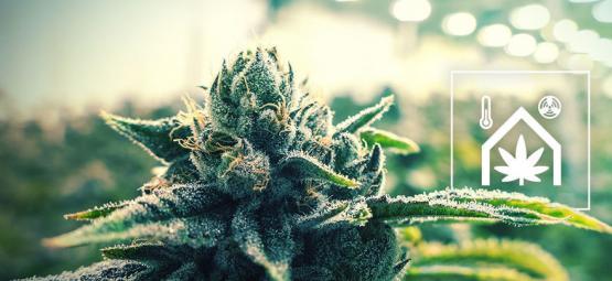Conseils Pour Faciliter L'Entretien De Votre Culture De Cannabis