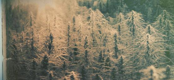 Variétés Landrace : Les 5 Plus Vieilles Variétés De Cannabis
