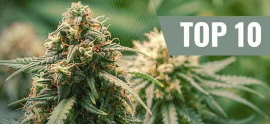 Top 10 Des Variétés De Cannabis Haze