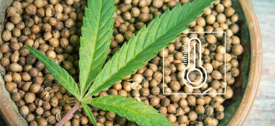 Meilleures Graines De Cannabis D'Extérieur Par Climat en Europe