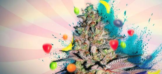 Runtz Auto : Évaluation Et Informations De Variété De Cannabis