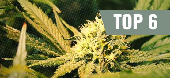 Top 6 Des Variétés De Cannabis THCV