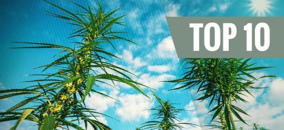 Top 10 Variétés Féminisées De Cannabis À Haut Rendement