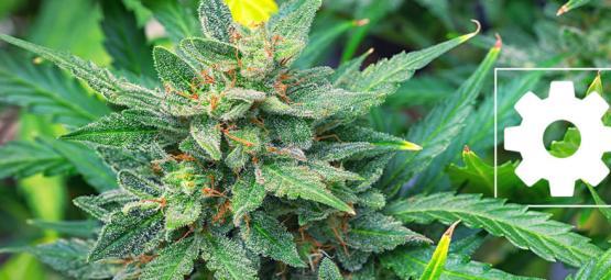 Les Variétés De Cannabis À Autofloraison Sont-Elles Moins Puissantes Que Les Autres?