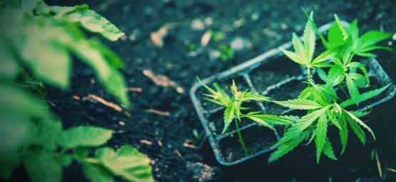 Comment Transplanter Avec Succès Des Plants De Cannabis Autofleurissants
