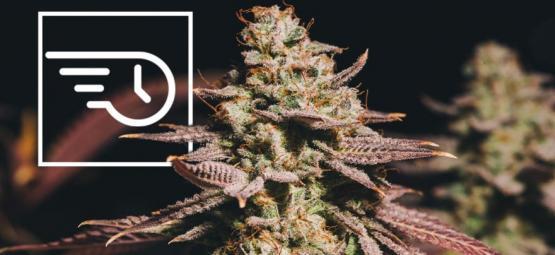 Qu'est-Ce Que Le Cannabis À Floraison Rapide ?