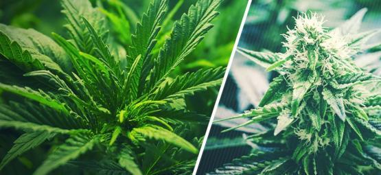 Quand Faire Passer Le Cannabis De La Phase Végétative À La Phase De Floraison