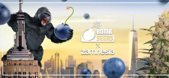 Zamnesia x Bomb Seeds : Bomberry Glue Auto (Édition Limitée)