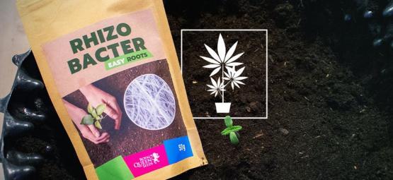 Comment Les Rhizobactéries Favorisent La Croissance Du Cannabis