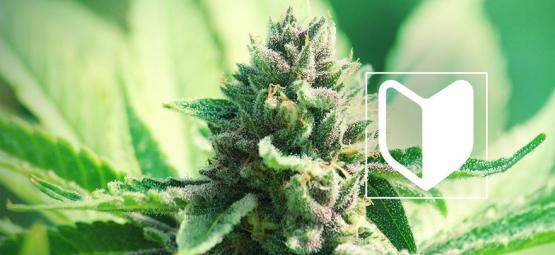 Que Vous Faut-Il Pour Commencer À Cultiver Du Cannabis ?
