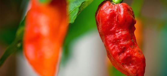 Piment Fantôme (Bhut Jolokia) : Comment Le Cultiver Et Le Consommer