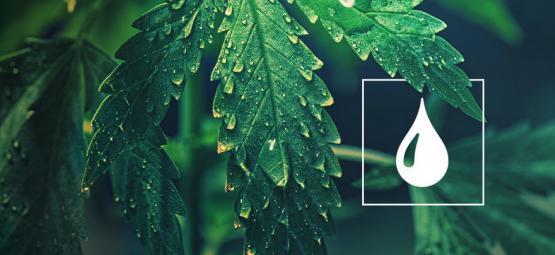 De Combien D'Eau Ont Besoin Les Plantes De Cannabis?