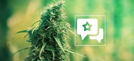 Sour Diesel : Évaluation Et Informations De Variété De Cannabis