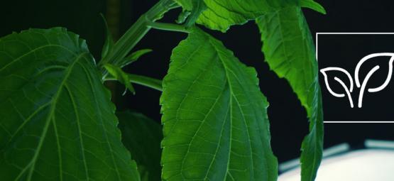 Comment Cultiver La Salvia Divinorum