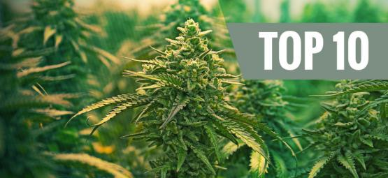 Top 10 Meilleures Variétés Féminisées De Cannabis