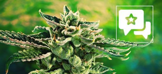 Blue Cheese: Évaluation & Informations De Variété De Cannabis