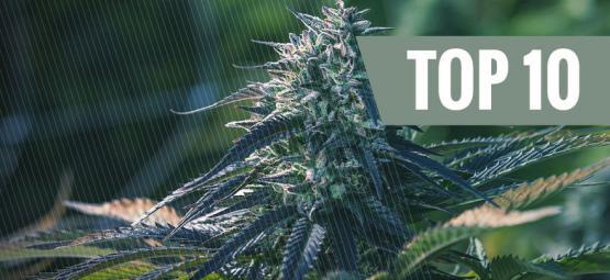 10 Bonnes Raisons De Cultiver Du Cannabis À Autofloraison